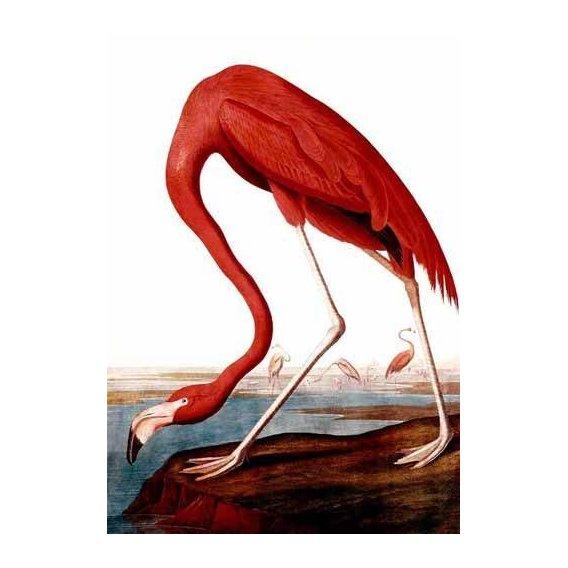 cuadros de fauna - Cuadro -Flamenco Americano-