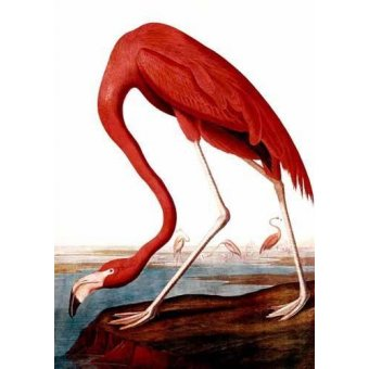 cuadros de fauna - Cuadro -Flamenco Americano- - Audubon, John James